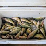 Perch Limit - Lake Erie Fishing Charters